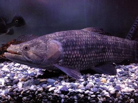 11, 2009 6:34 pm 文章主题: 大型鱼&古代鱼~ 猛鱼~河虎,巨暴~牙鱼